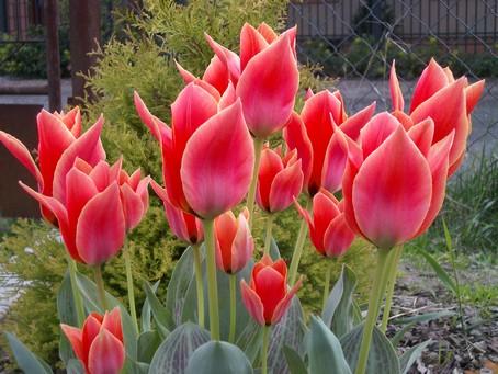 tulipany1_checinska